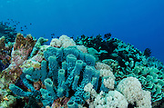 Tube Sponge (Porifera)<br /> Cenderawasih Bay<br /> West Papua<br /> Indonesia