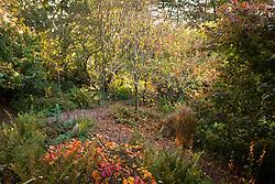 Upper woodland garden lock off. Cercidiphyllum japonicum f. pendulum in autumn colour. Pendulous katsura