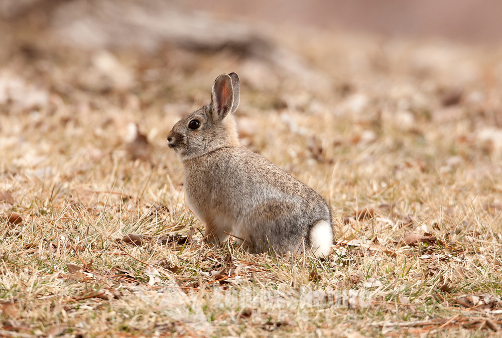 A common rabbit in Utah the Desert Cottontail sits on a grassy area of an upper valley campsite.
