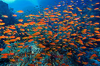A cloud of anthias feed in the water column