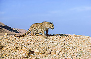 Arabian leopard (Panthera pardus) photographed in the wild in the Judaean Desert, Isreal. One of the few remaining specimen