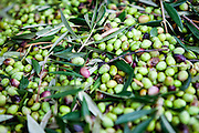 Olive harvest in Palaiochora which is a small town in Chania regional unit on the island of Crete, Greece. It is located 77 km south of Chania, on the southwest coast of Crete and occupies a small peninsula 400m wide and 700m long. The town is set along 11 km of coastline bordering the Libyan Sea. Its population was 1,675 in the 2011 census. Palaiochora's economy is based on tourism and agriculture (mainly tomatoes cultivated in glass houses and also olive oil).