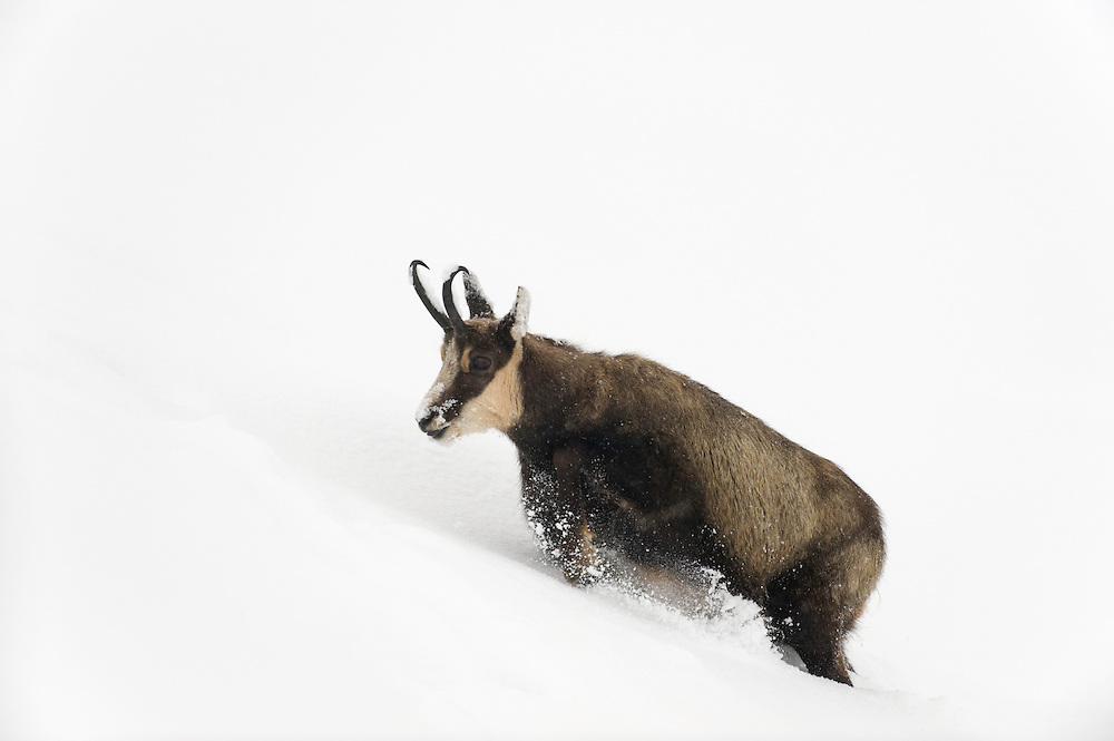 04.11.2008.Chamois (Rupicapra rupicapra) in snowy weather. Walking in deep snow..Gran Paradiso National Park, Italy