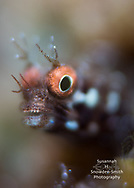 """""""Check Out My Grill!"""" - Roughhead blenny.  Photographed on a coral reef on the West side of Grand Cayman."""