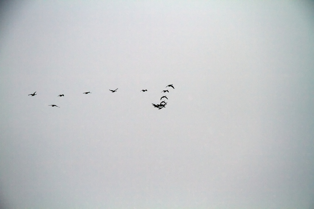 Canadian geese in flight over Lake Ontario (Canada)