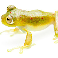 Glass frog, Nynphargus grandisonae, from Colombia