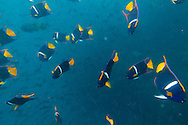 Snorkeling with a school of King Angelfish at Champion Islet near Floreana Island, Galapagos National Park, Galapagos, Ecuador