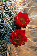 Cactus spines and red flowers, Havasupai Indian Reservation, Arizona, USA.