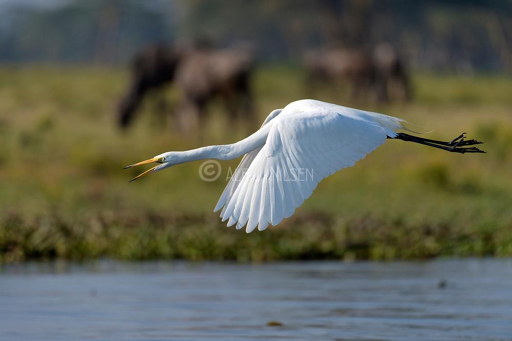 Great white egret (Ardea alba) at Lake Naivasha, Kenya.