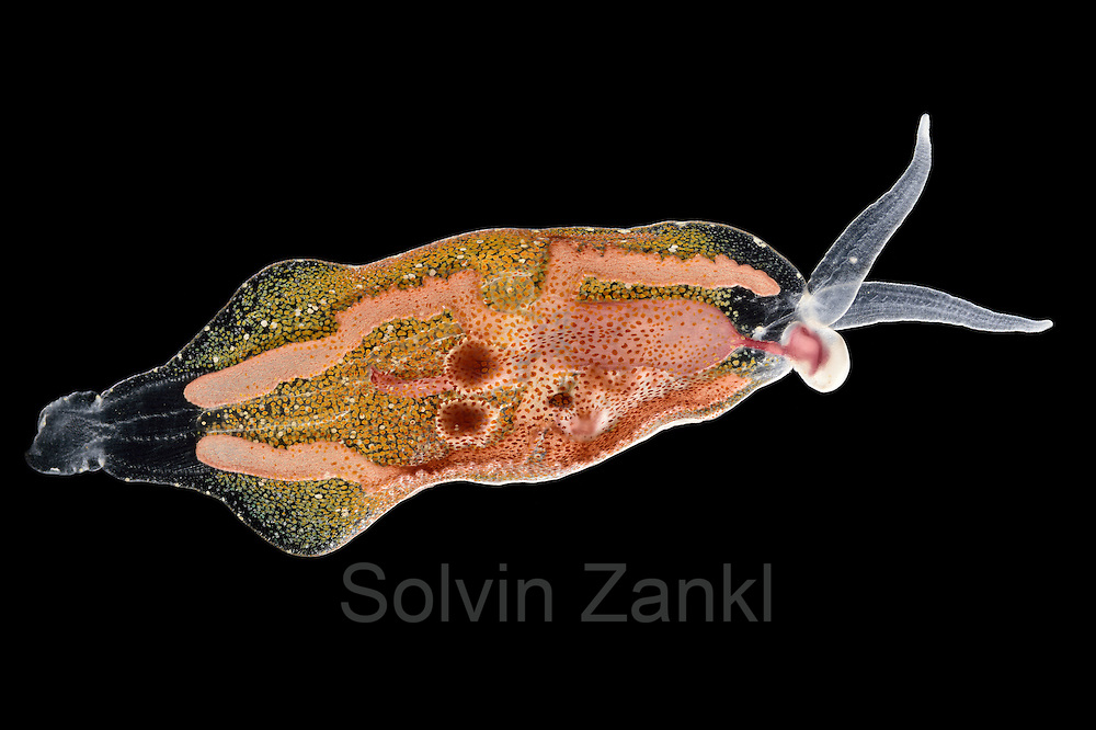 [captive] Phylliroe is a genus of pelagic sea slugs (nudibranchs). Atlantic Ocean near Cape Verde.   Phylliroe ist eine Gattung frei schwimmender mariner Nacktschnecken. Atlantischer Ozean, nahe Kap Verde.