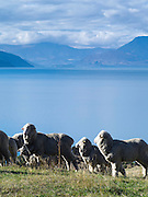 Sheep & Lake Wakatipu, one of New Zealand's most beautiful lakes, surrounded by mountains and set off by clouds and blue sky on an autumn day.