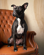 Iggy Brown Eyes on the orange chair with wood background
