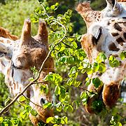 20180420 Giraffen in Burgers Zoo