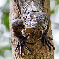 Iguana in Belize