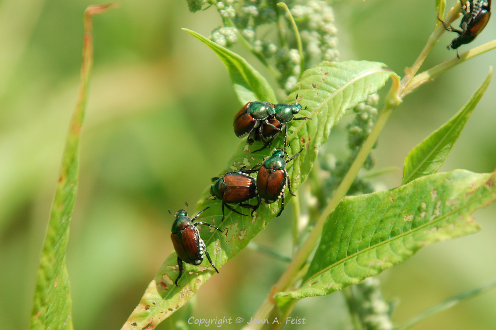 This group of beetles were all on one leaf in the peace garden at Kripalu in Stockbridge, MA.  I have three thoughts about what they are doing, a) asserting dominance, b) get a room! c) beetle back rides.