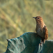 The plaintive cuckoo (Cacomantis merulinus) is a species of bird belonging to the genus Cacomantis in the cuckoo family Cuculidae. This is a female Hepatic morph.