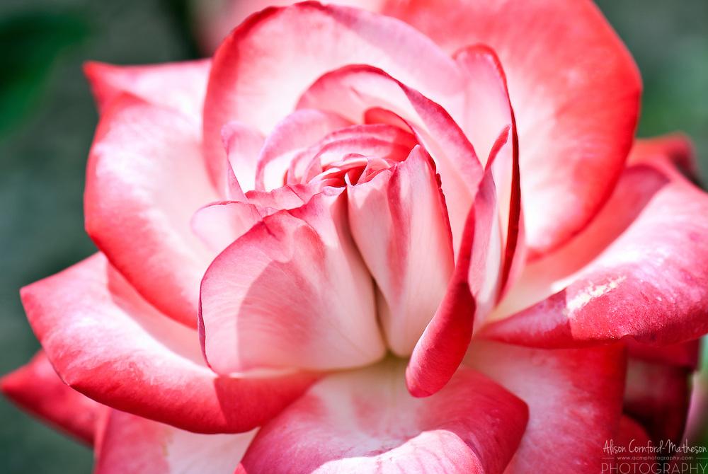 Rose Cabaret