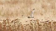 Canada, British Columbia, Boundary Bay, Short-eared Owl(Asio flammeus) in flight