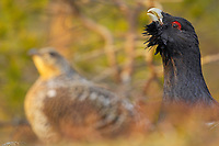 Capercaillie, Tetrao urogallus, hen and cock, at the lek site, displaying, Flatanger, Norway