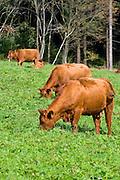 Kühe, Rinder, Rotes Höhenvieh, Harz, Niedersachsen, Deutschland | cows red highland cattle, Harz, Lower Saxony, Germany