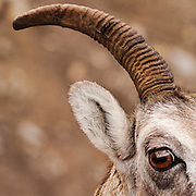 CANADA, Jasper National Park.Detail of bighorn sheep (Ovis canadensis)