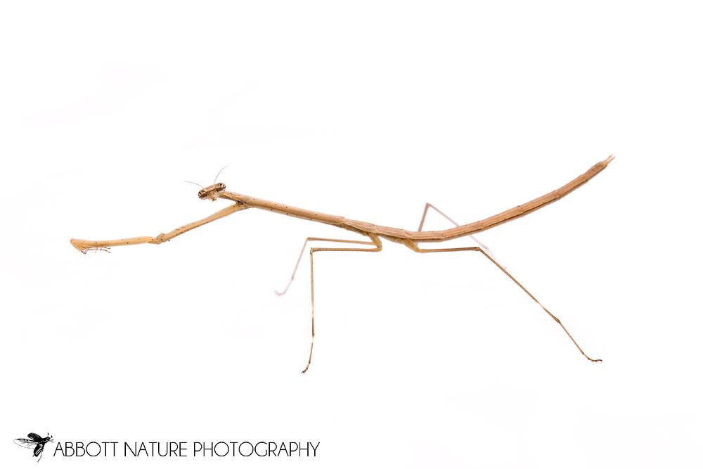 Grass-like Mantid (Thesprotia graminis) - female<br /> TEXAS: Montgomery Co.<br /> Montgomery<br /> 6-Nov-2012<br /> J.C. Abbott