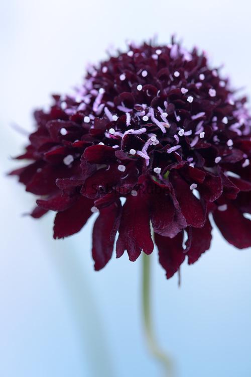 Scabiosa atropurpurea 'Chat Noir' - sweet scabious