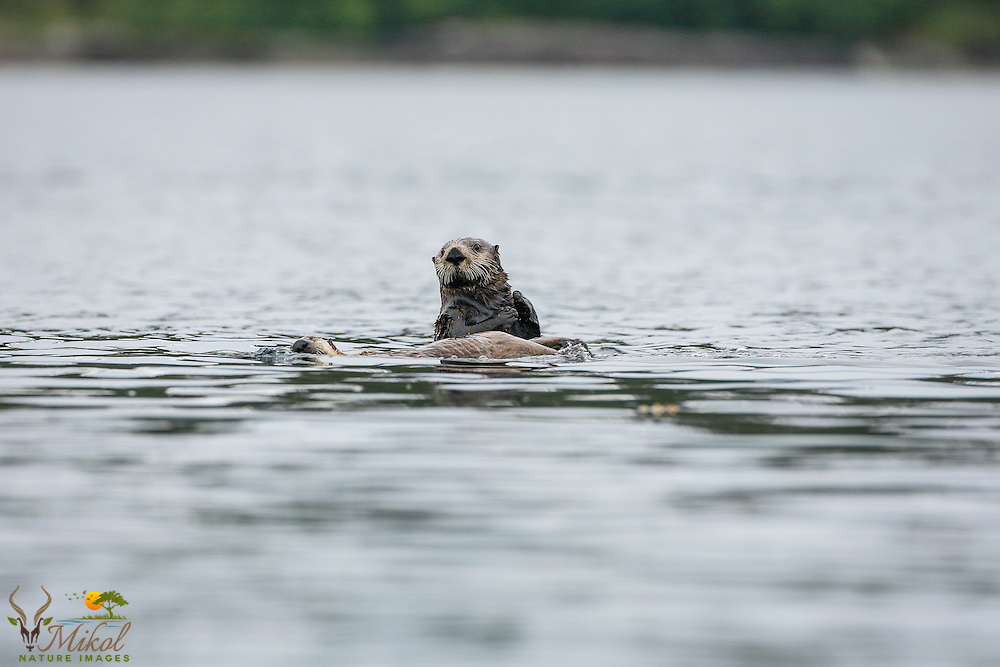 One upright and one reclined otter