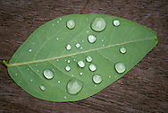 A close up shot of a leaf with raindrops on a wood deck.