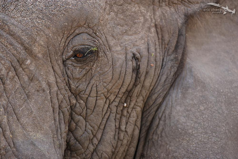 African bush elephant (Loxodonta africana) portrait, Lake Manyara, Tanzania