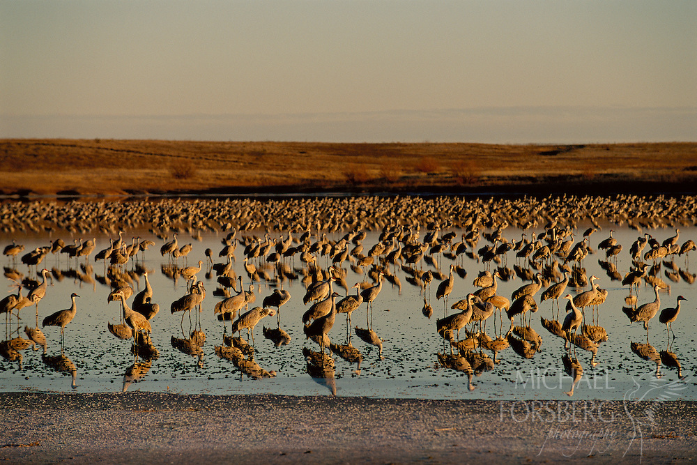 Lower Paul's Lake provides evening sanctuary for hundreds of wintering sandhill cranes. Muleshoe National Wildlife Refuge, Texas.