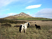 Sugarloaf horses, Wicklow, Ireland