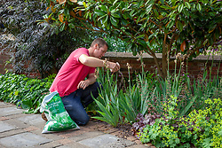 Feeding bearded irises with granular plant food after they've finished flowering