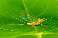 Flatheaded Mayfly (Stenacron sp.)<br /> ALABAMA: Tuscaloosa Co.<br /> Tulip Tree Springs off Echola Rd.; Elrod<br /> 30-April-2016<br /> J.C. Abbott #2806 &amp; K.K. Abbott
