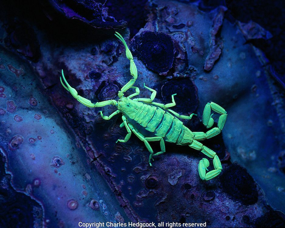 Bifurcation of the Tail and Ultraviolet Fluorescence in the Bark Scorpion Centruroides exilicauda