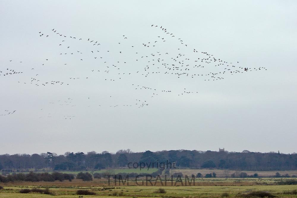 Migration of Pink-footed Geese, Holkham, Norfolk. Migrating birds could risk Avian Flu (Bird Flu Virus)
