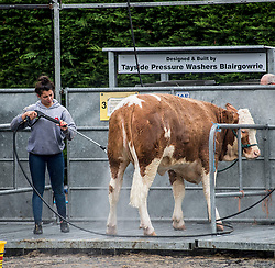 some of the cattle get the VIP treatment during final preparations for this years Royal Highland Show at Ingliston near Edinburgh.<br /> <br /> &copy; Dave Johnston/ EEm
