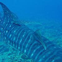 Alberto Carrera, Whale Shark, Rhincodon typus, South Ari Atoll, Maldives, Indian Ocean, Asia