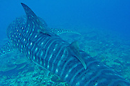 Alberto Carrera, Whale Shark, Rhincodon typus, South Ari Atoll, Maldives, Indian Ocean, Asia