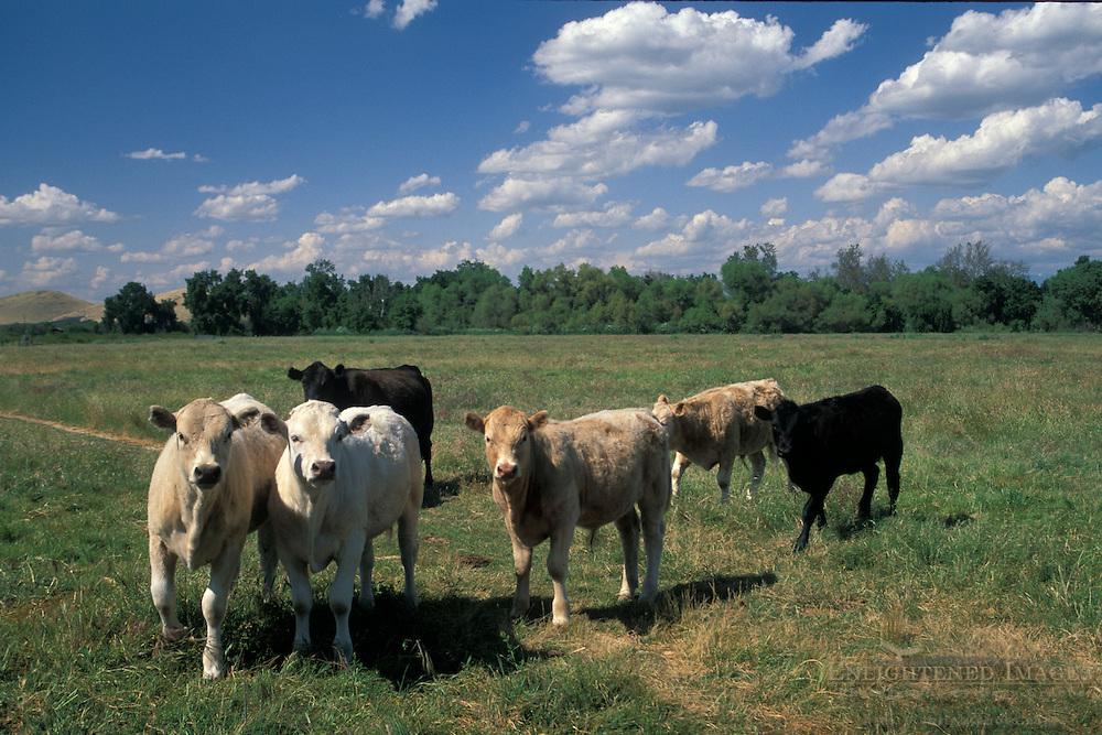 Cows in flat grass field in spring, Kaweah Oaks Preserve, near Visalia, San Joaquin Valley, California