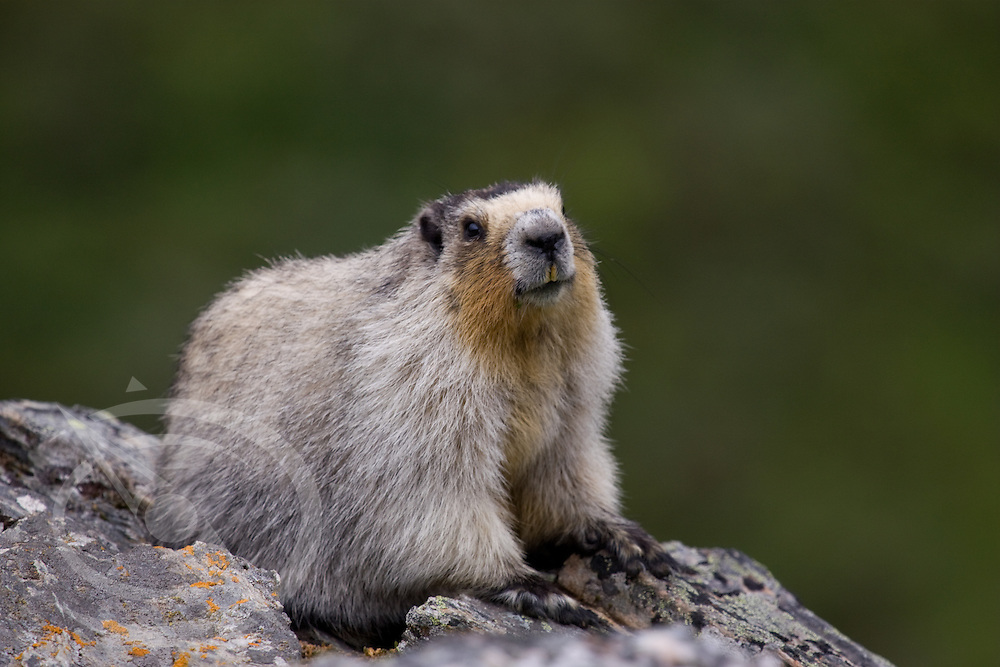 A marmot up close in Denali, Alaska.