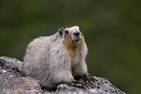 A marmot up close in Denali, Alaska.
