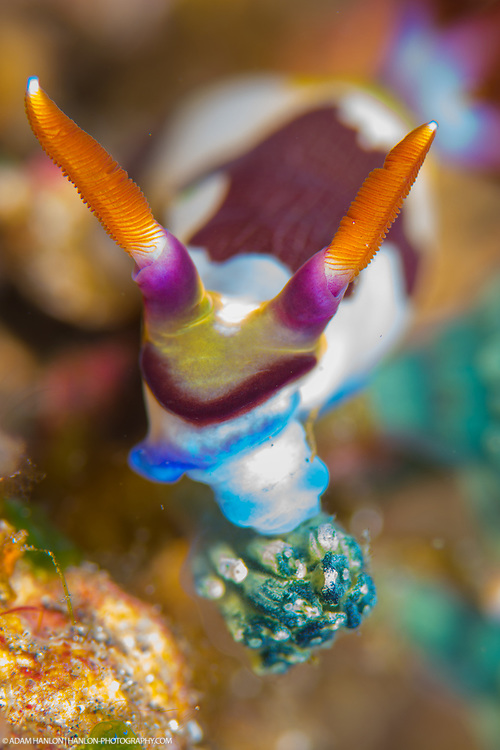 A Nembrotha purpureolineata feeds as it moves across the seabed. In common with many sea slugs, they are specialised eaters, only feeding on tunicates or sea squirts.