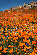 The spring of 2008 had a spectacular wildflower bloom in Southern California. The blooms all over Southern California included this spectacular poppy field.  This photo was taken near Lake Elsinore California.