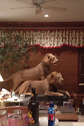 Who lives in this animal house? Shocked dinner guest reveals images of home FILLED with with taxidermy trophies<br /> <br /> <br /> A guest who was invited to a dinner party got a shock when he came face to face with hundreds of work of taxidermy at his host's home. <br /> He reportedly had no prior warning that his new friends were seasoned big game hunters - and avid collectors of the spoils of their sport. <br /> From stuffed lions to bears, rhinos and crocodiles, the avid hunters go on a trip to Africa every six weeks, he claimed. <br /> <br /> The home contains around 75 taxidermy statues and unsurprisingly, the home owners have a large gun collection.<br /> <br /> Big game taxidermy appears to have become something of a popular decor choice recently after a mansion was put up for sale proudly displaying dozens of pieces.<br /> The $15million home in Celina, Texas is a shrine to blood sports and boasts more than 40 mounted busts of deer, antelope and rhino heads on its walls.<br /> The 314-acre property is also perfect for equestrian lovers with two competition arenas, a ranch and several barns.<br /> ©sweete_d/Exclusivepix