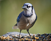 Blue Jay. Image taken with a Nikon D5 camera and 600 mm f/4 VR lens (ISO 900, 600 mm, f/5.6, 1/1250 sec)