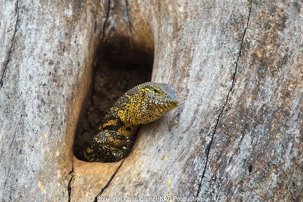 Nile monitor lizard in tree.