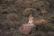 Puma (Felis concolor patagonica) female born without tail<br /> Torres del Paine National Park<br /> Patagonia<br /> Magellanic region of Southern Chile