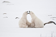 Polar bears sparring Ursus maritimus on frozen tundra<br />