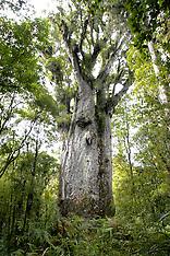 Kauri, Agathis australis